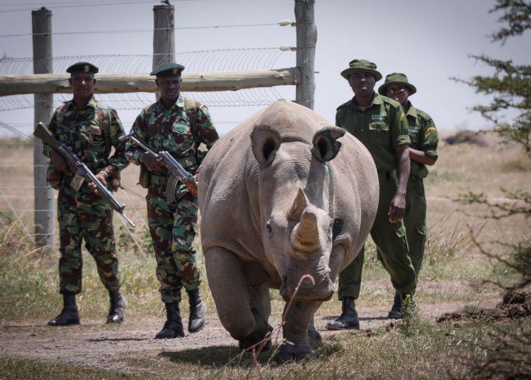 Escoltada por guardabosques y cuidadores la rinoceronte blanca de diecinueve años Fatu, una de las dos últimas de su especie, camina hacia la zona de pasto en la Reserva Ol Pejeta, a 200 km de la capital de Kenia, Nairobi. Foto: Dai Kurokawa / EFE.