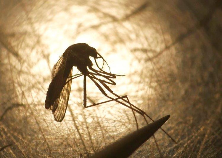 Esta fotografía de archivo del 26 de agosto de 2019 muestra un mosquito examinado por Nadja Reissen en el distrito de disminución de mosquitos en Salt Lake City. Foto: Rick Bowmer/ archivo AP.