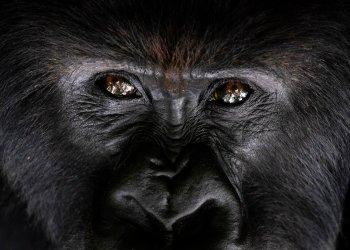 Un gorila de montaña espalda plateada llamado Segasira mira hacia arriba, tumbado bajo un árbol en el Parque Nacional Volcanes de Ruanda. Foto: Felipe Dana/AP