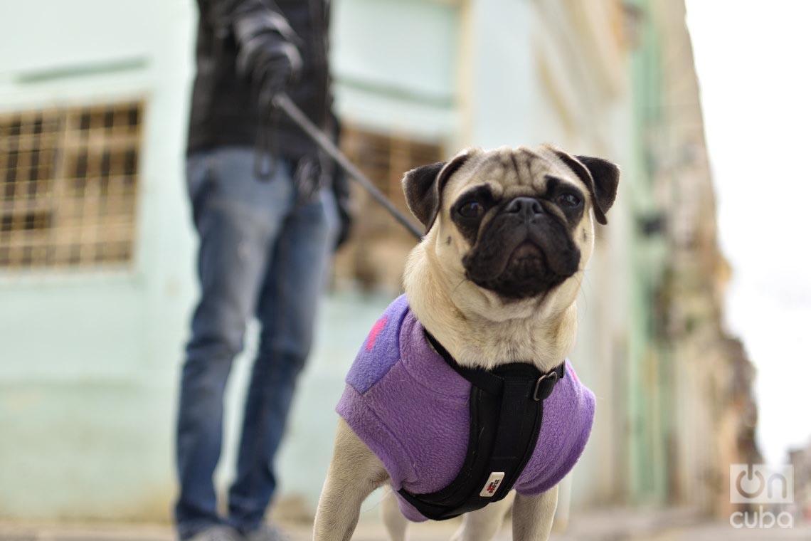 Hasta los perros disfrutan las bajas temperaturas en Cuba. Foto: Otmaro Rodríguez.