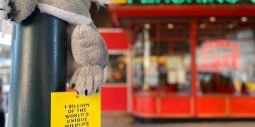 Koala de peluche colocado en Nueva York como parte de una campaña laagencia independiente Cummins & Partners. Foto: koalasofnyc / Instagram.
