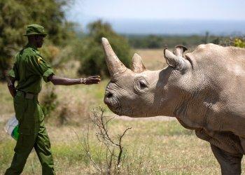 En esta foto de archivo, un agente forestal acaricia a la rinoceronte blanca norteña Najin, una de las dos últimas ejemplares de esta especie en el mundo, en la reserva Ol Pejeta, Kenia. Foto: Ben Curtis / AP / Archivo.