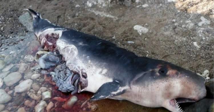 Cachalote pigmeo encontrado en una playa de Guantánamo, en el oriente de Cuba. Foto: Venceremos.