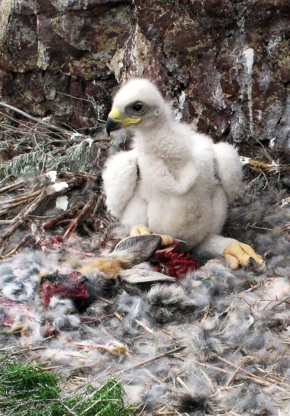 baby golden eagle vert