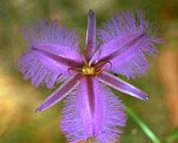 fringed-violet.jpg