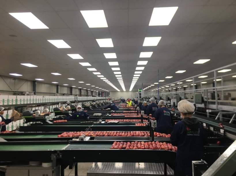 ligne d'emballage de pommes dans une usine nouvelle-zélande