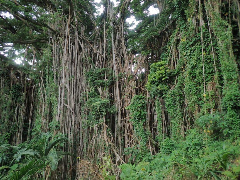 banyan tree geant au vanuatu