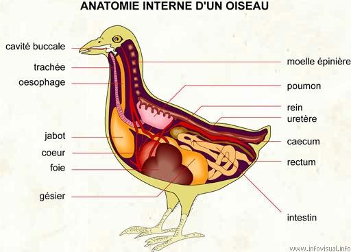 digestion diagram crop 2003 chevy s10 wiring diagrams anatomie : elevage du courteau