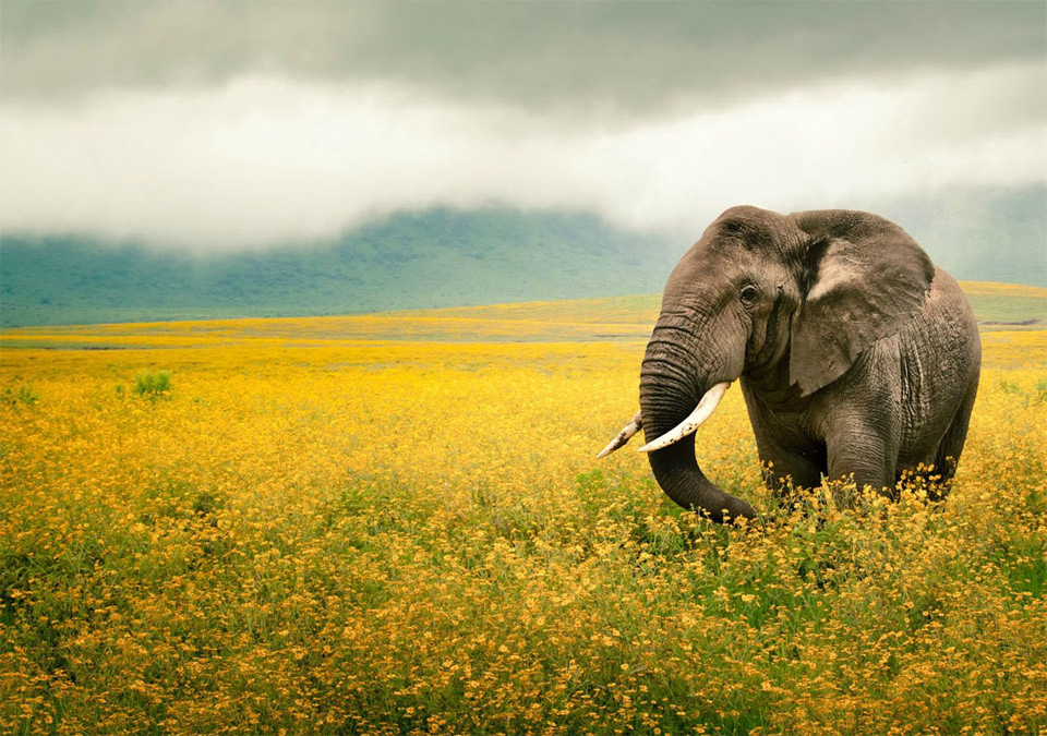 elephant in a yellow flower field