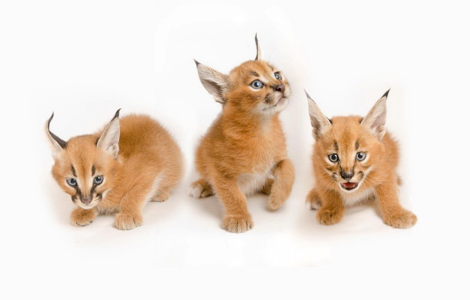 five weeks old caracal kittens