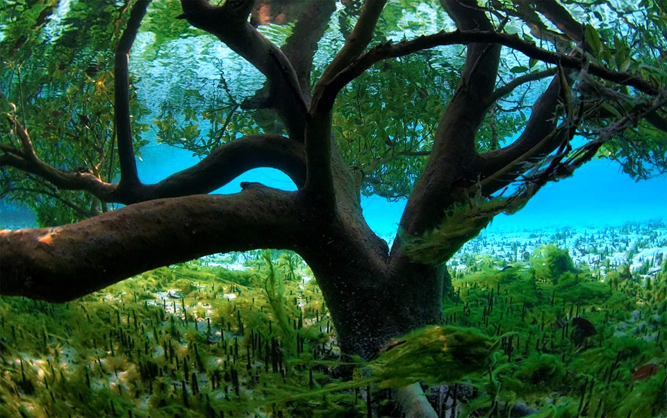 underwater mangrove tree