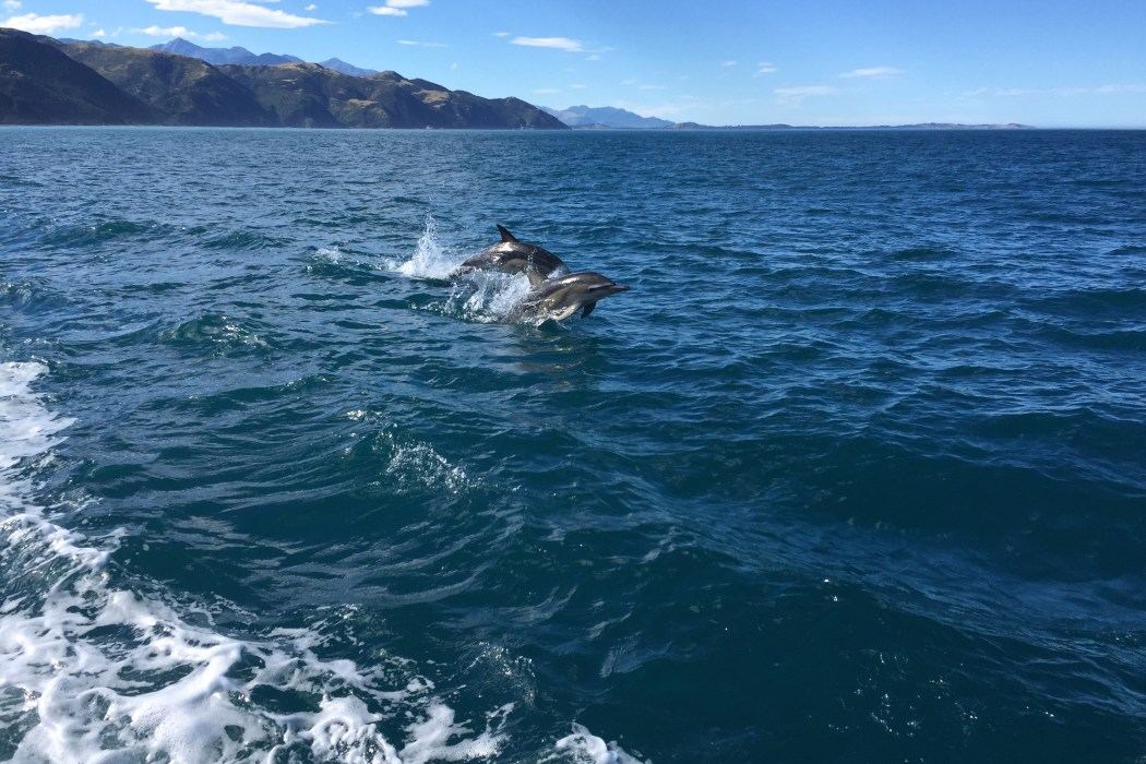 Swimming With Dolphins in Kaikoura