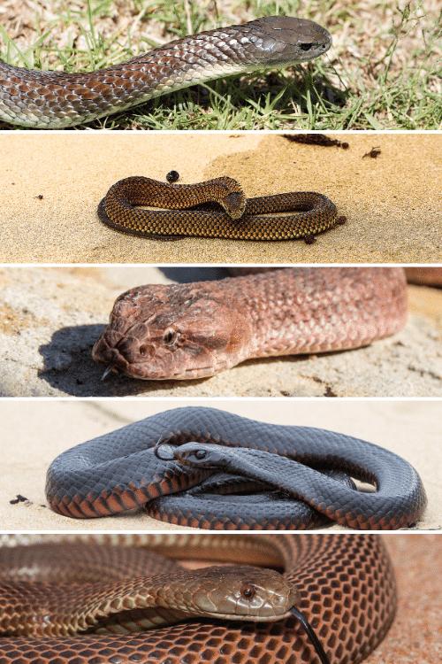 deadliest animals in Australia - snakes