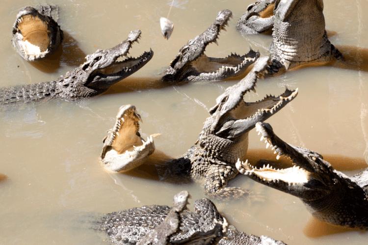 Deadliest Animals in Australia crocodile