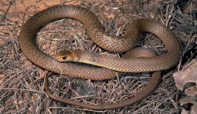 eastern_brown_snake_011