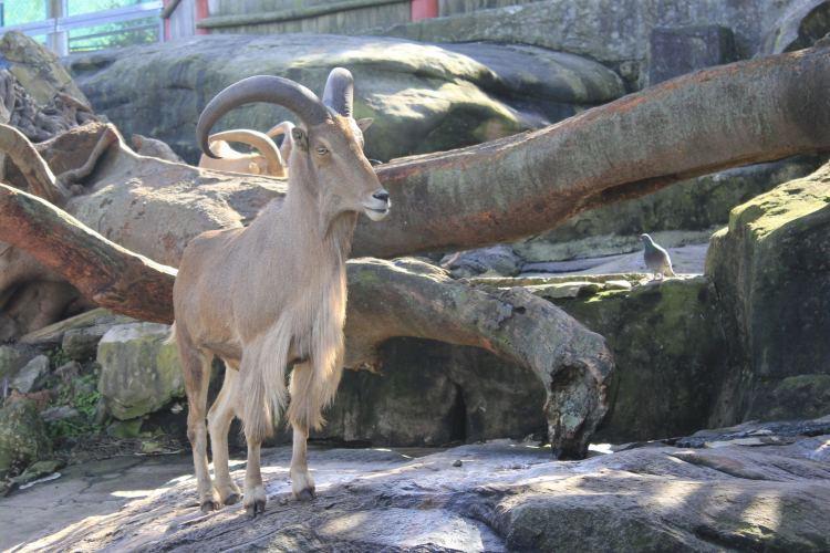 Rams at Sydney Taronga Zoo