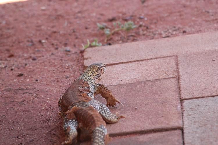 Goana near Uluru campsite