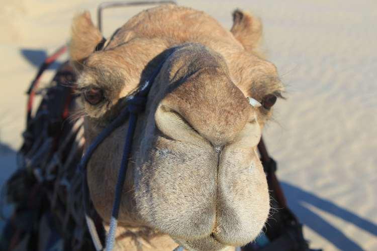 Camel in Australia
