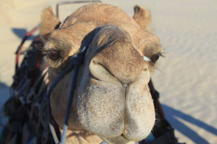 Camel Ride at Sunset: Port Stephens, Australia Must Do