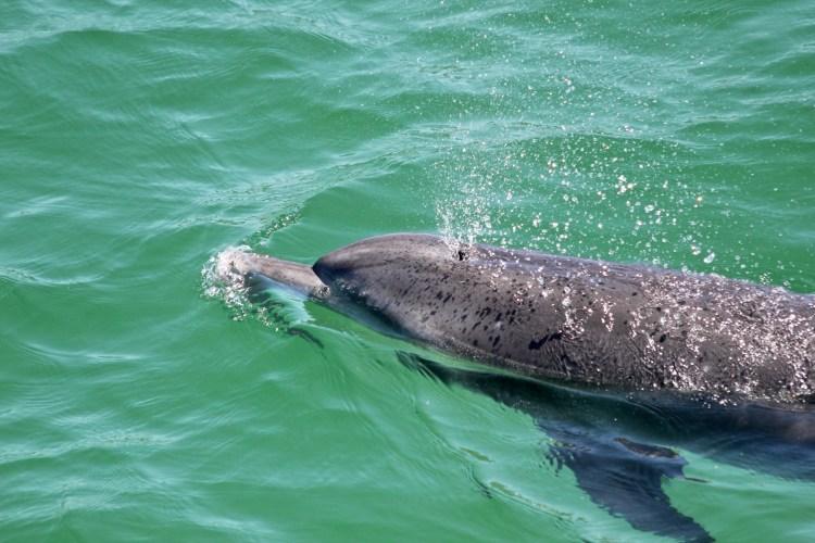 Port Stephens Dolphin