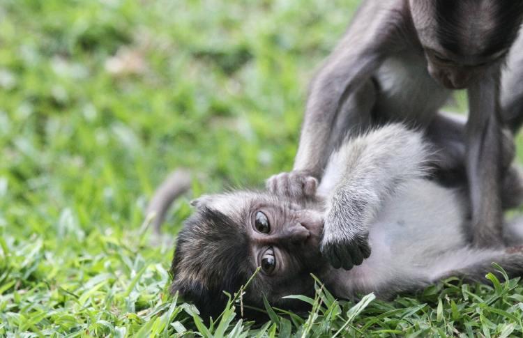 cute baby monkey in bali