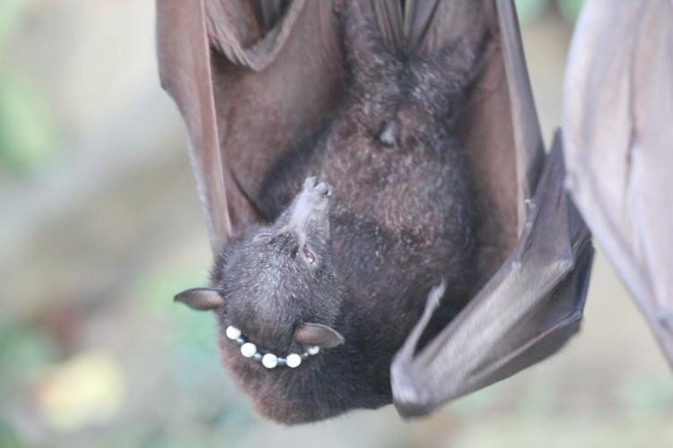 giant bats in bali
