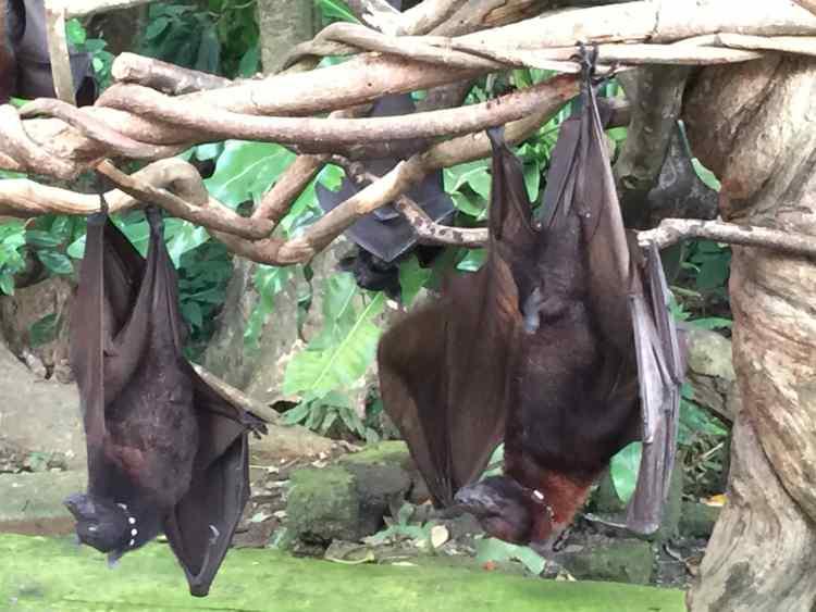 bali giant bats in monkey forest