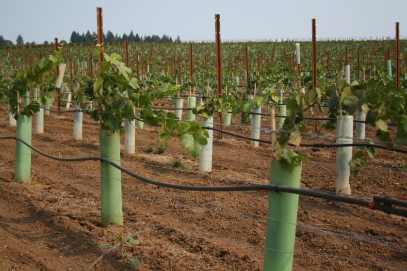 a row of grape vines
