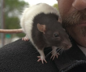 Rat on a mans shoulder