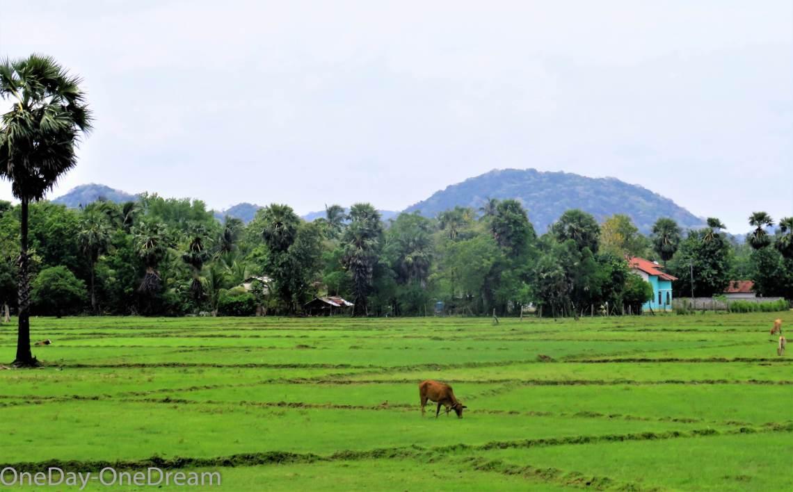 sri-lanka-Lanka-paddy-field