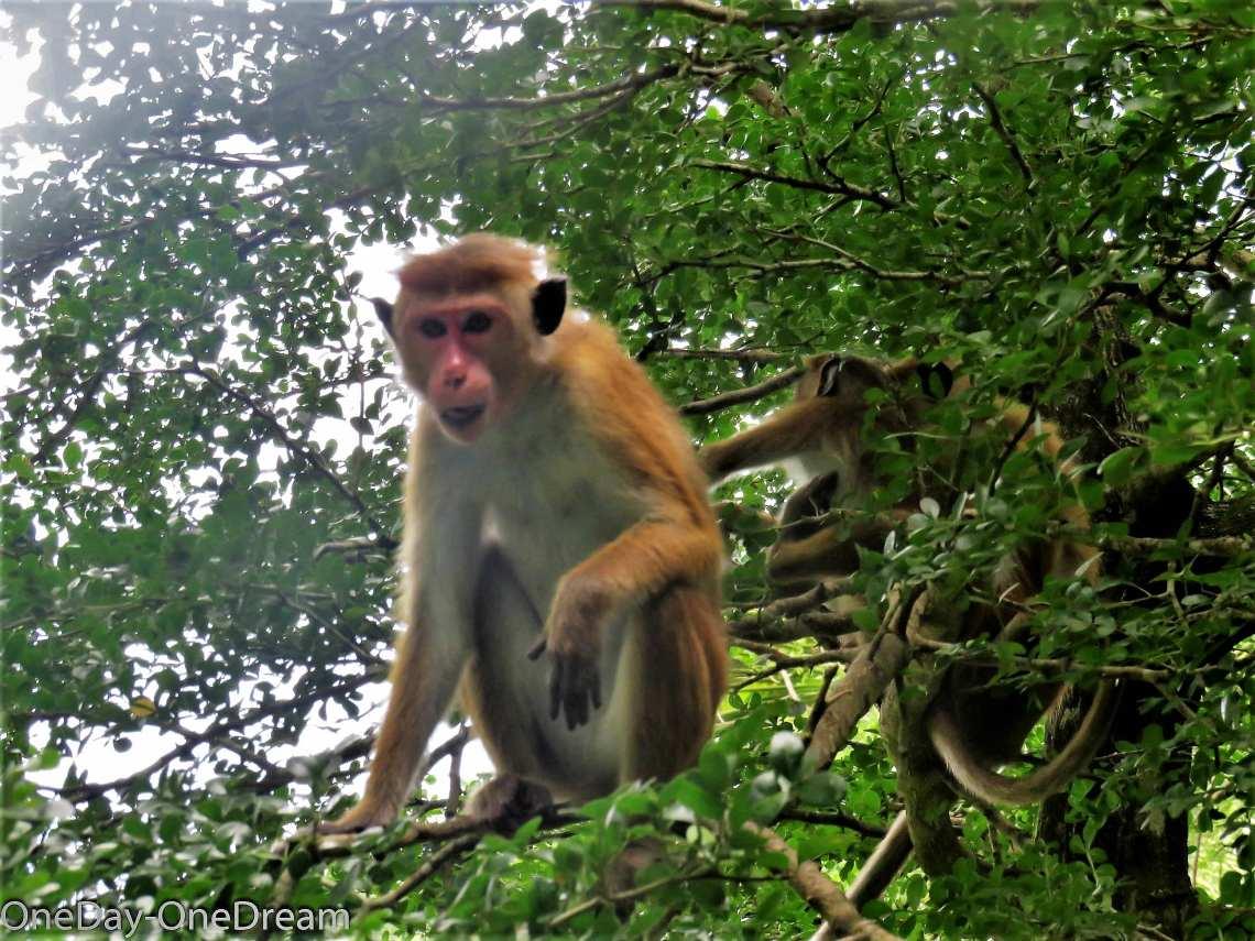 tangalle-monkey