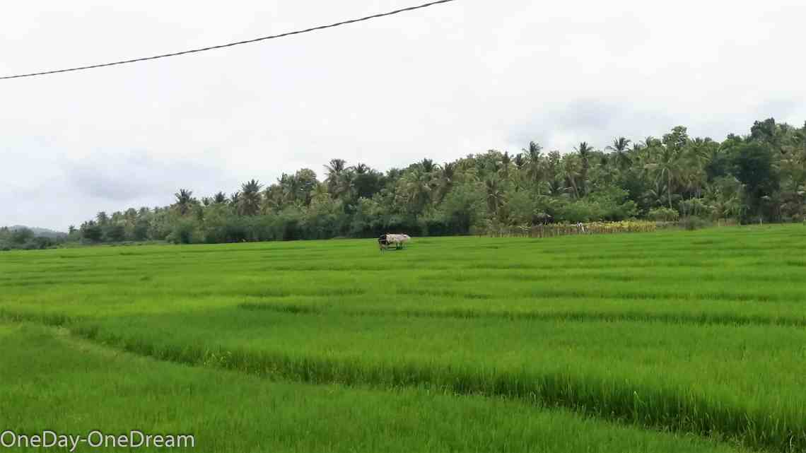 tangalle-paddy-field