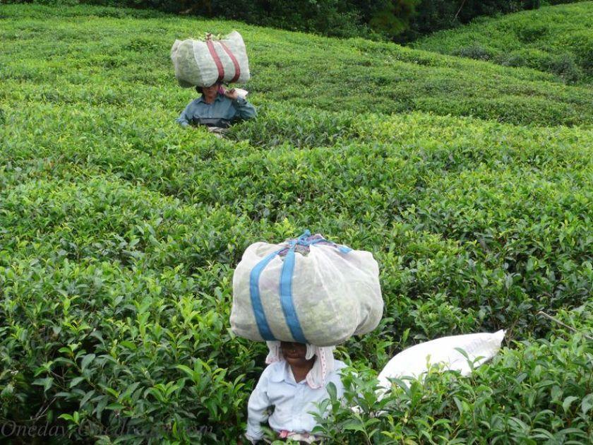 plantation-thé-maurice