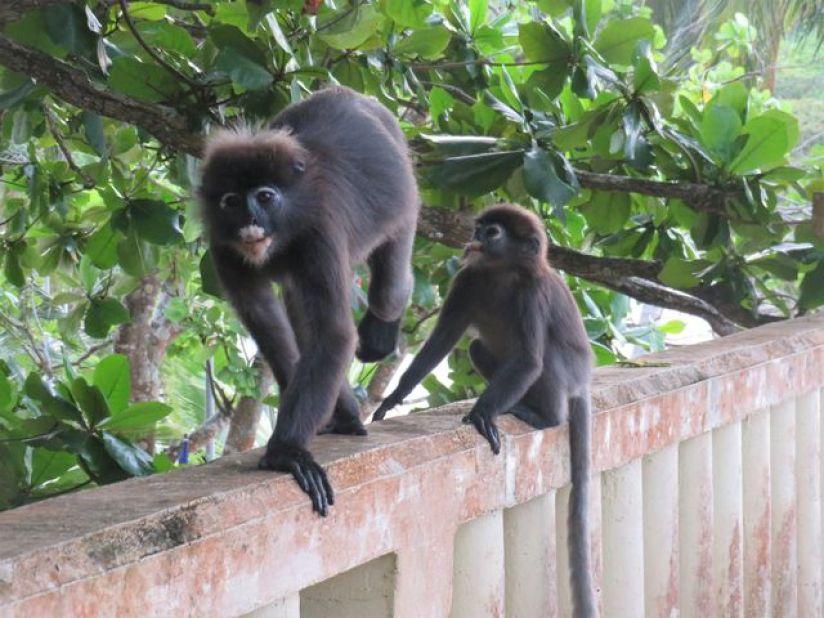 singes-malaisie