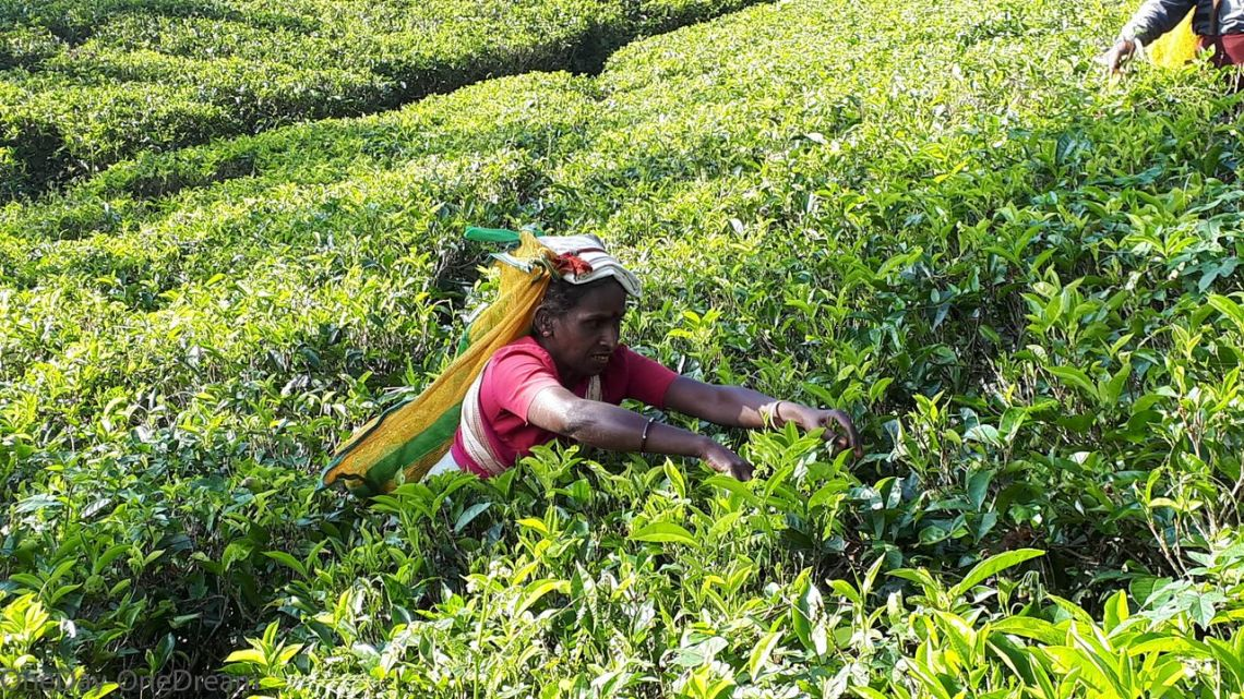 Tea worker plantation in Sri Lanka