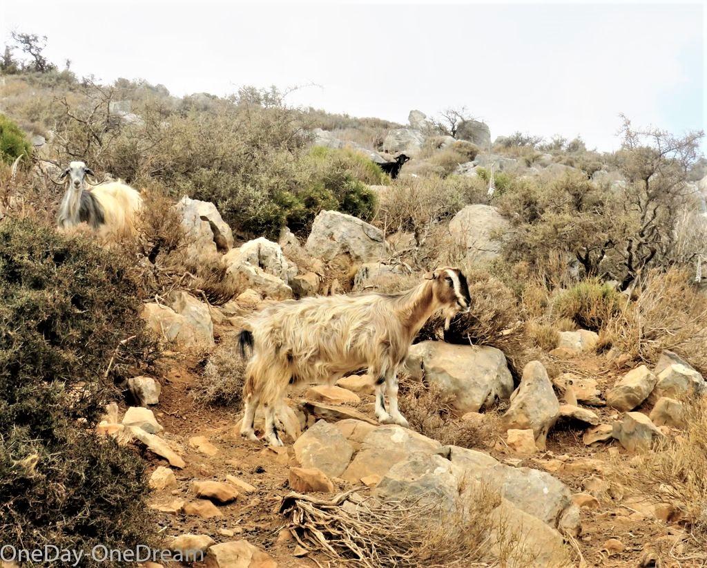 chèvres en Crète