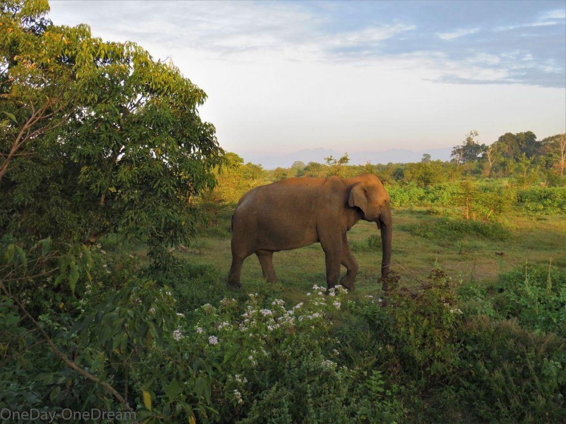 elephant-udawalawe