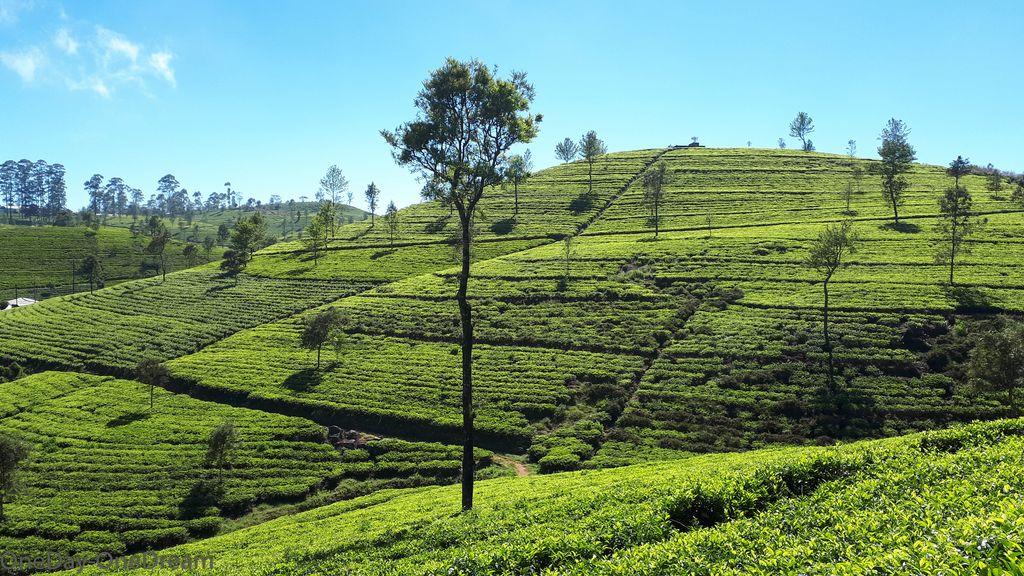 plantation-haputale