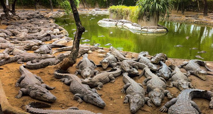 One Day Chennai to Mahabalipuram Trip by Car Crocodile Bank