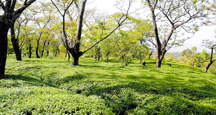 One Day Dharamshala Local Sightseeing Trip by Car Tea Gardens