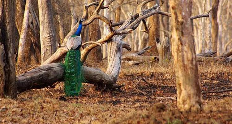 One Day Mysore to Madikeri / Nagarhole Jungle Safari Trip by Car Fauna @ Nagarhole National Park