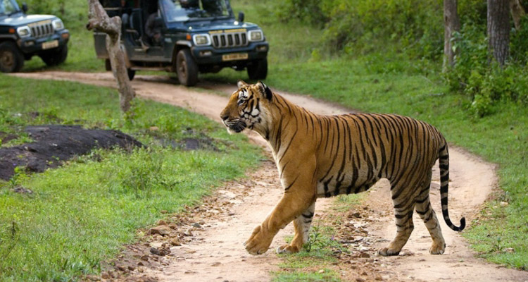 One Day Mysore to Ooty Trip by Car Safari @ Bandipur National Park