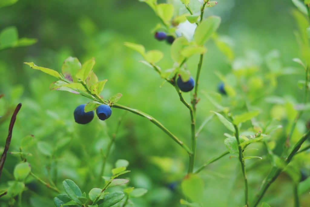 blueberry forest health