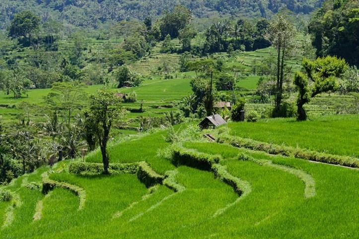 Rice terraces, Bali
