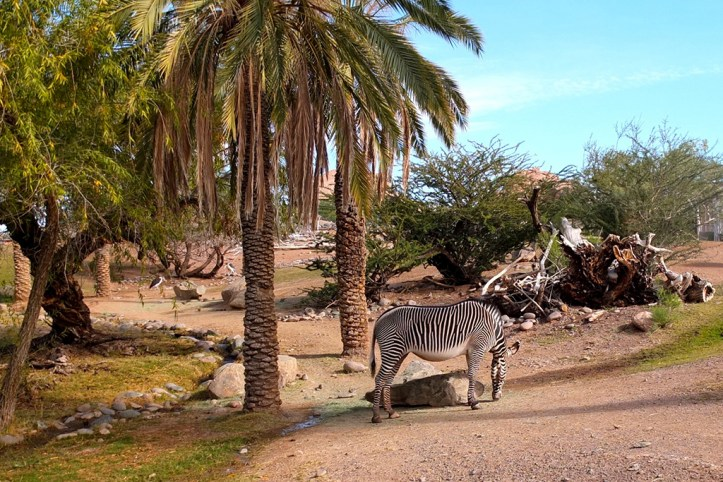 Zebra at the Phoenix Zoo
