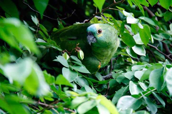 Parrot at Tijuca National Park