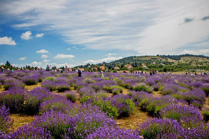 Field of Lavander, Lake Balaton