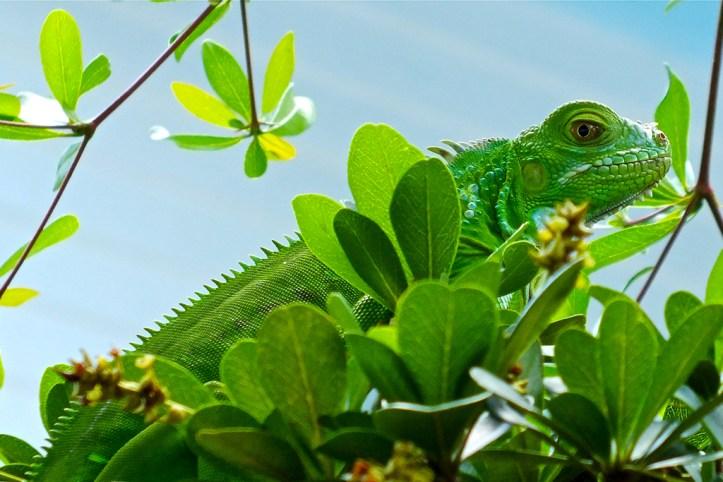 Iguana at the Nature Conservatory, Key West