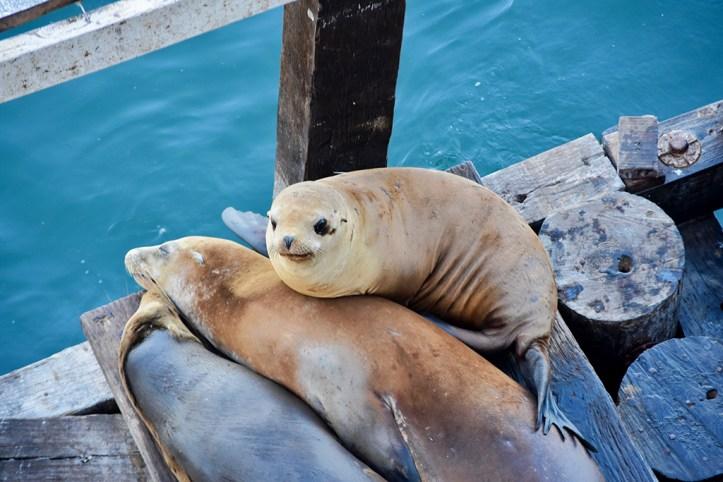 Sea Lions, Santa Cruz