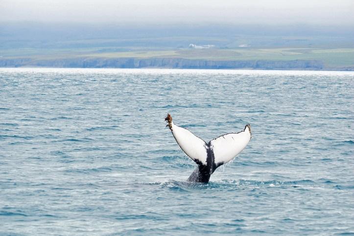 Whale watching, Akureyri